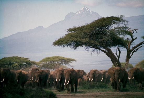 Mt Kilimanjaro looms over a herd of elephants in the Amboseli National Park