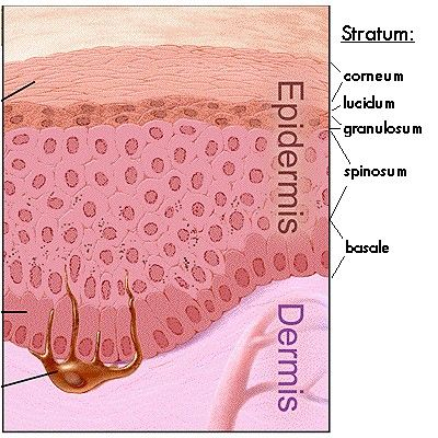 Integumentary System and Skin Layers | skin | Pinterest
