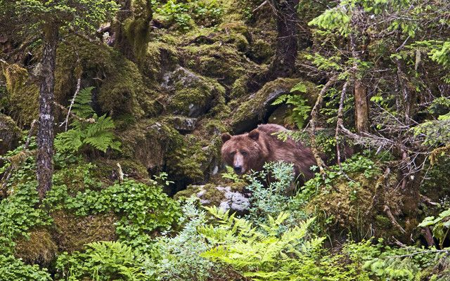 A mighty Alaskan brown bear blends into the Chugach National Forest undergrowth.