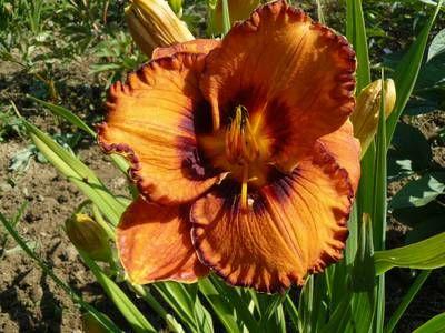 Blumengarten Andrea Köttner: Pfingstrosen, Taglilien, Iris: Hemerocallis  San Luis Halloween, Taglilie