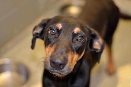 River Doberman Pinscher Hound Dog Granbury Tx With Images