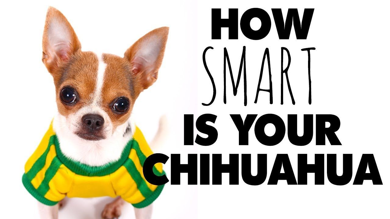 So Where Does The Chihuahua Rank In Dog Intelligence Sweetie Pie Pets Chihuahua Sweetie Pie Lap Dogs