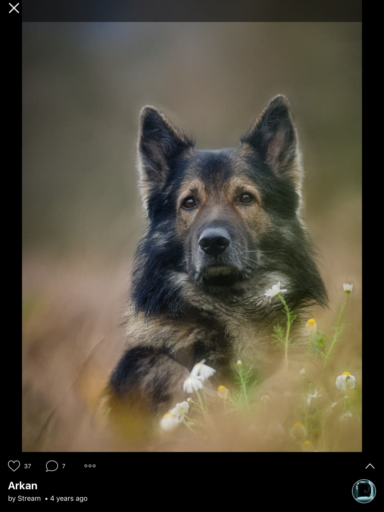 Pin By Michael Langkau On Mike S German Shepherds Dogs Beautiful Dogs German Shepherd Dogs