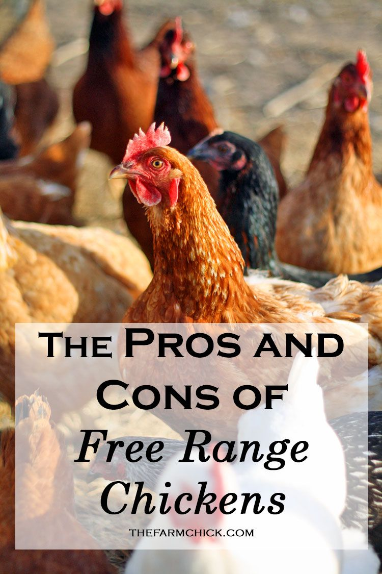 The Pros and Cons of Free Range Chickens   Free range ...