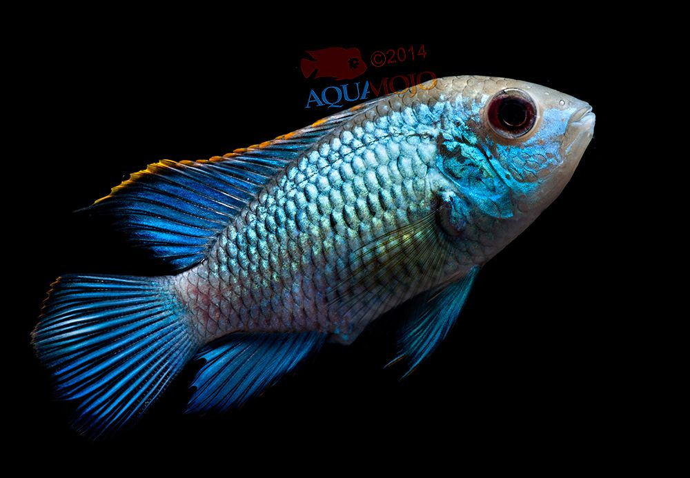 Electric blue acara today in the fishroom pinterest for Aggressive fish for sale