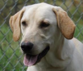 Adopt Nebula Adopted On Labrador Retriever Dog Labrador