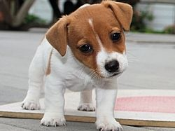 Jack Russell Puppy Jack Russell Jack Russell Terrier Jack Russell Dogs