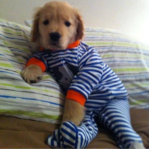 Life With Dogs's photo: A picture of a golden retriever puppy in his pajamas has become an internet sensation. That puppy's name is Ray Charles and he was born blind. He was almost put down until Andrew Fales came along and rescued him and helped turn him into an internet sensation.