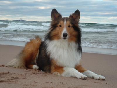 Breed Profile Shetland Sheepdog Dog Photo Contest Shetland