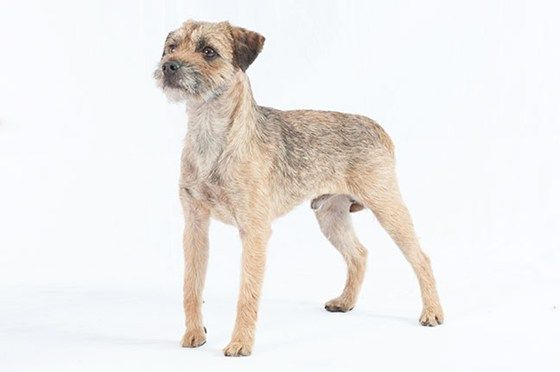 The Border Terrier Is A Small Rough Coated Breed Of Dog Of The