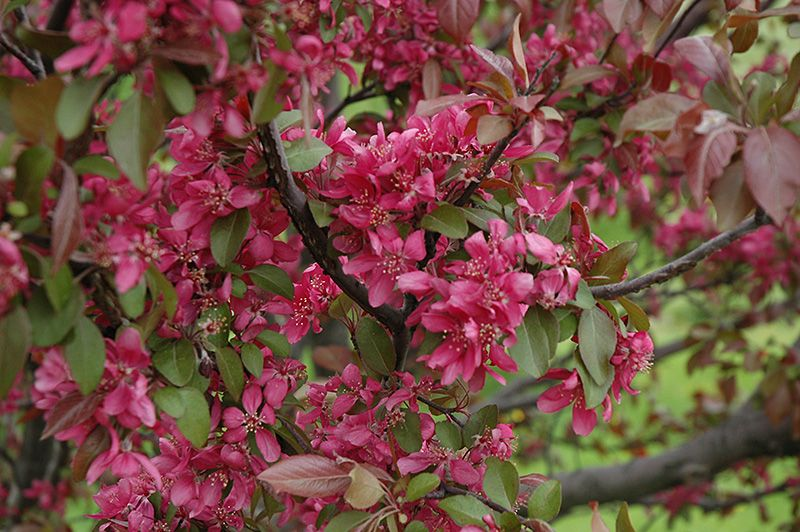 bachmans garden center. Find Profusion Flowering Crab (Malus \u0027Profusion\u0027) In Des Plaines Mount Prospect Elk Grove Glenview Nile Illinois IL At Lurvey Garden Center (Roseybloom, Bachmans T