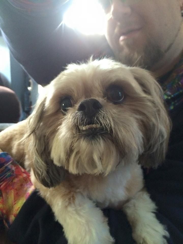 Found Dog 2 3 15 Cute Older Looking Male Shih Tzu I Think
