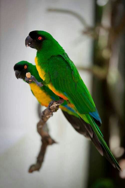 Sulpher Breasted musk Parrot