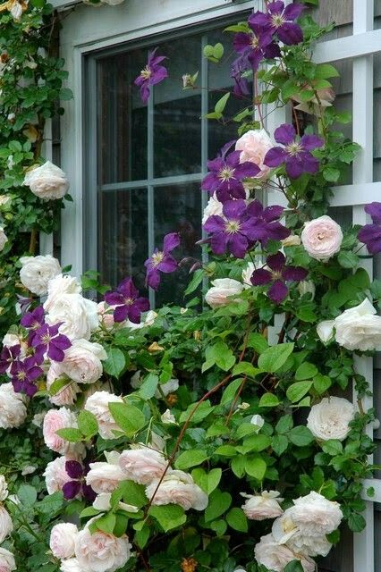 Rose and Clematis window garden combo