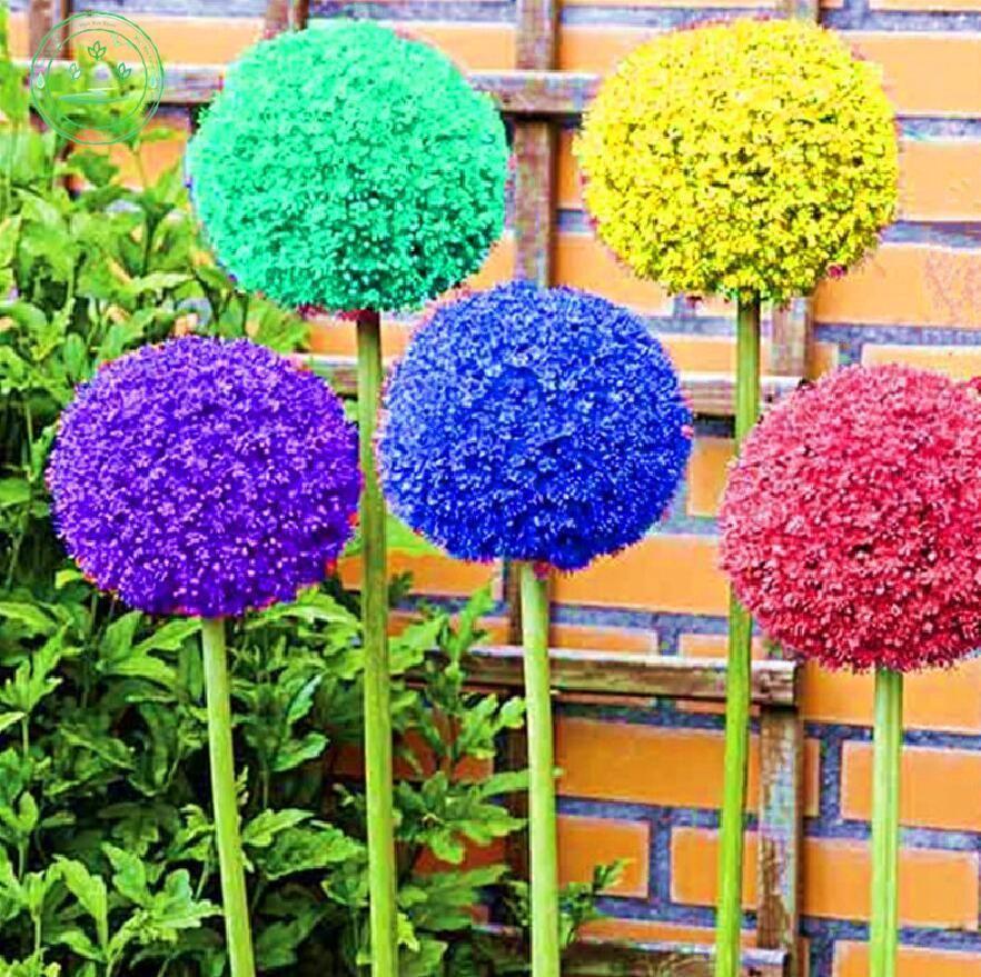 150 Pcs Colours Allium Giganteum Beautiful Rare Seeds Flower Giant Plant Garden Unbranded Onion Flower Rare Flowers Flowers Perennials