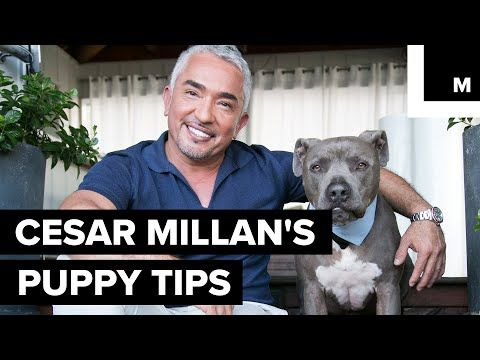 Cesar Millan S Puppy Tips Youtube With Images Puppies Tips