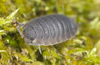 How To Get Rid Of Rolly Pollies Pill Bug Potato Bugs Garden Bugs