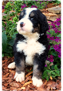 Buy tricolored bernedoodle puppies online from Hurricane