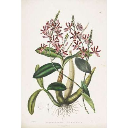 Orchid Schomburgkia Tibicinis Canvas Art - Augusta Withers (12 x 18)