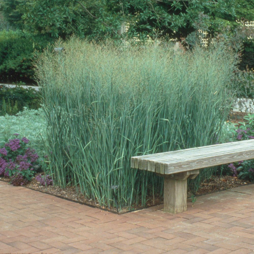Ornamental Grass Panicum Virgatum Heavy Metal Ornamental Grasses Plants Grasses Landscaping