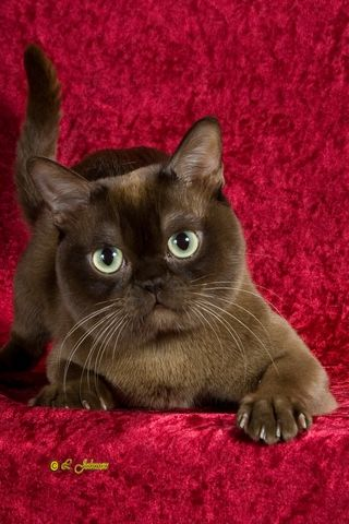 Contemporary American Chocolate Burmese So Regal Love This Baby
