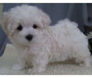 Teacup Puppies For Sale In Ny Teacup Puppies Puppies Maltipoo Puppy