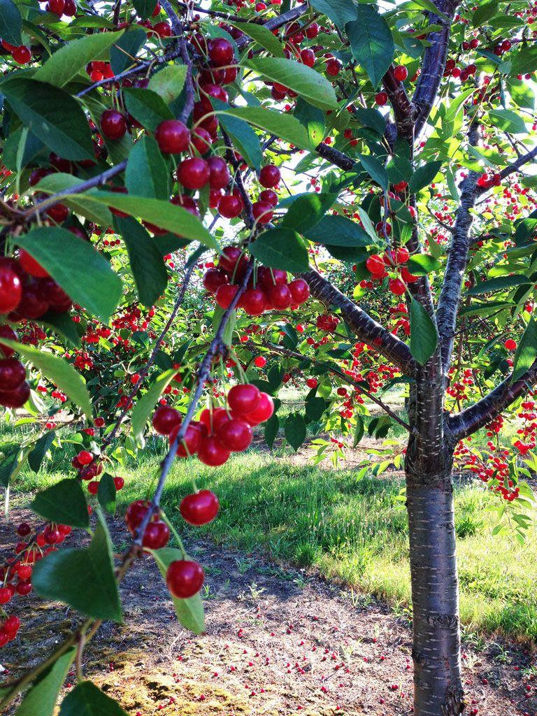 Fruit Trees Grape Vines On Pinterest Pear Trees Fruit