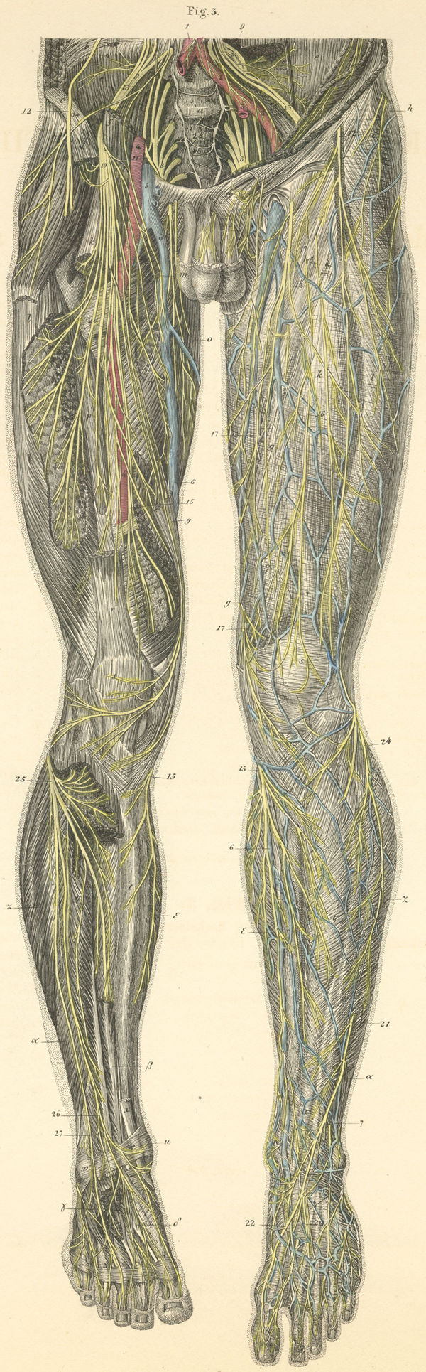 Skin and muscle nerves of the anterior surface of the left leg ...
