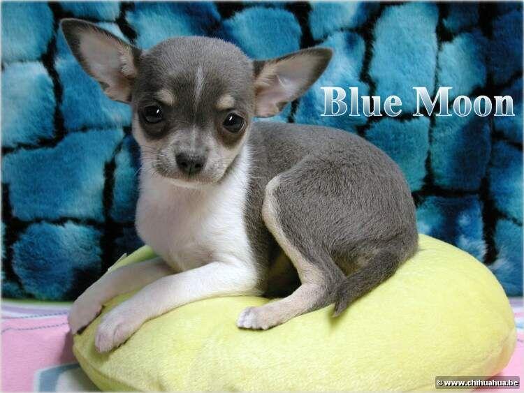 Blue Chihuahua Chihuahua Puppies Chihuahua Cute Chihuahua