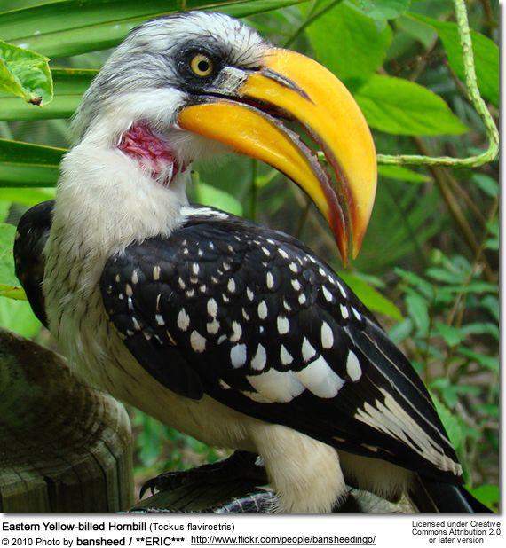 Birds Eastern Yellow-billed Hornbill (Tockus flavirostris