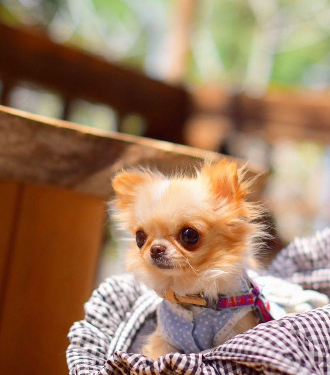 Pin By Chiwawadog On Cute Chihuahua Chihuahua Chihuahua Puppies Cute Chihuahua