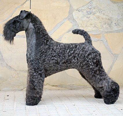 Breed Of The Month Kerry Blue Terrier Kerry Blue Terrier Dog