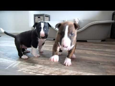 Bull Terrier Puppy 4 Weeks Old Goes Crazy For The Camera Youtube Bull Terrier Puppy Bull Terrier Mini Bull Terriers