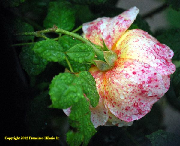 05-26-2012 Love the cross colors of this rose being cultivated by one of my neighbors. Taken by Francisco Hilario Jr.