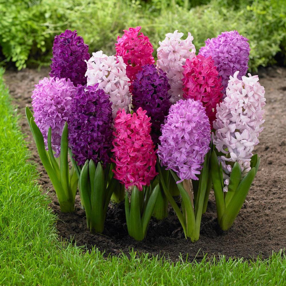Longfield Gardens Hyacinth Fierce Mix Bulbs 15 Pack 11000117 The Home Depot Bulb Flowers Fragrant Flowers Beautiful Flowers