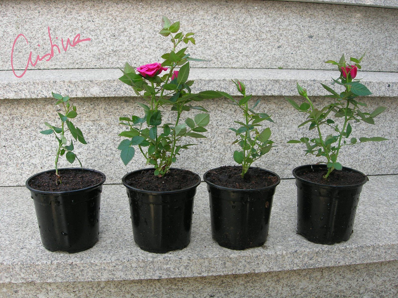 Hogar y jardin c mo cultivar rosas en miniatura hogar y for Hogar y jardin