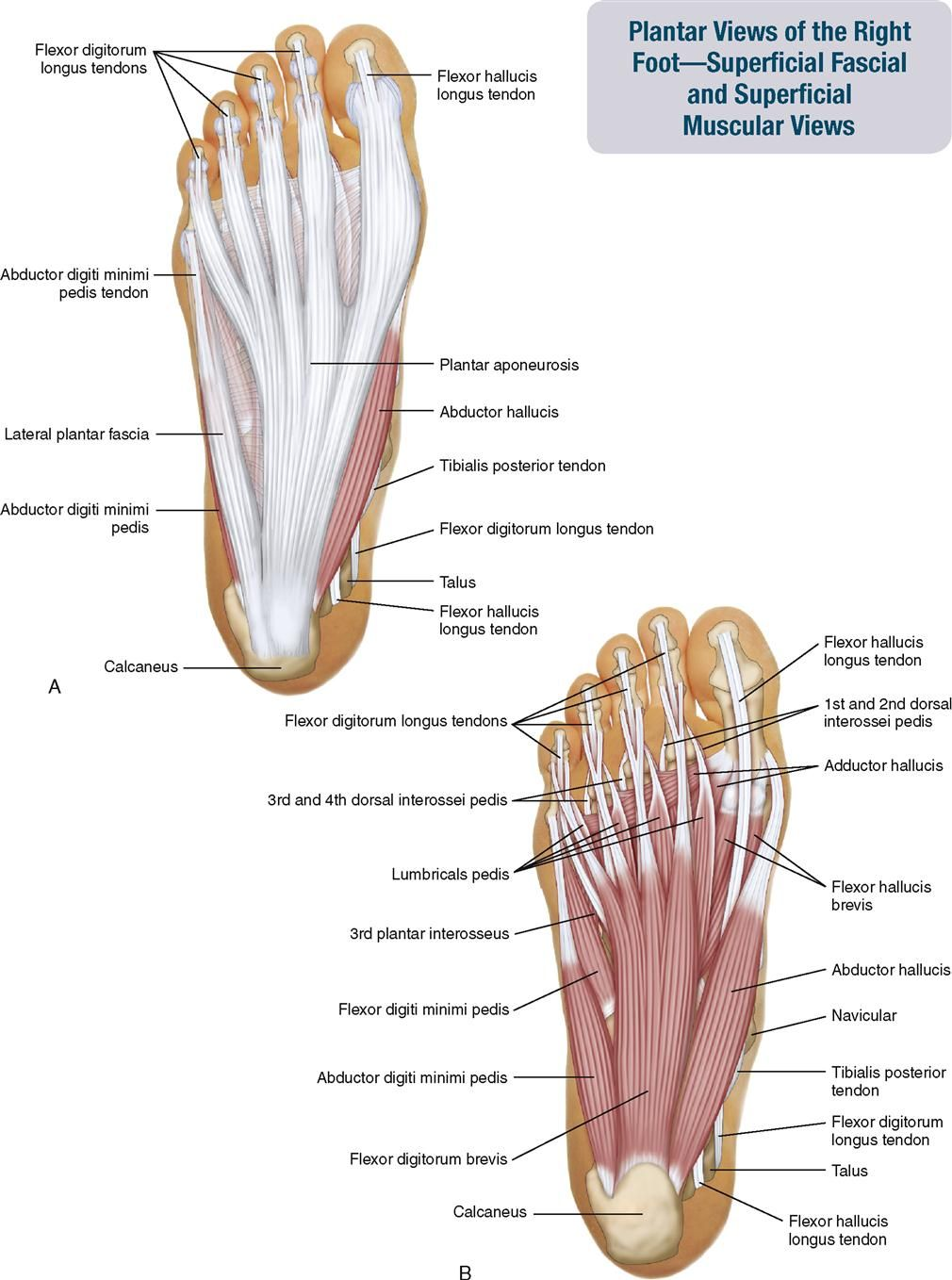 Pin by FabandfitoverX on PERSONAL TRAINER | Pinterest | Anatomy ...
