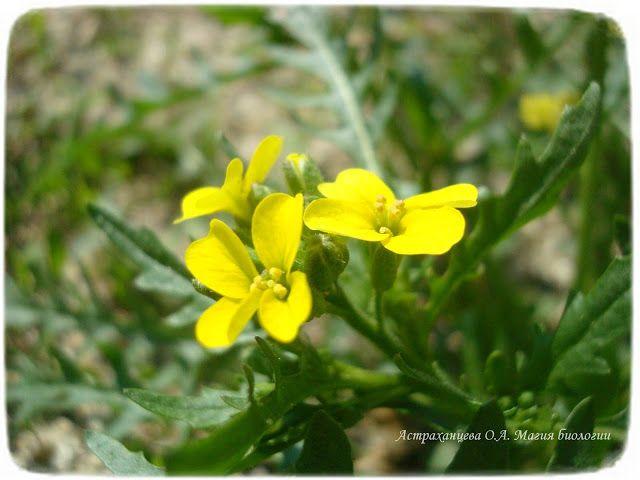zagadki-pro-vesennie-cvety-podsnezhniki-horispora ...