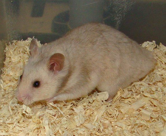 Amazin Syrian All Types Of Syrian Hamsters Hamster Syrian