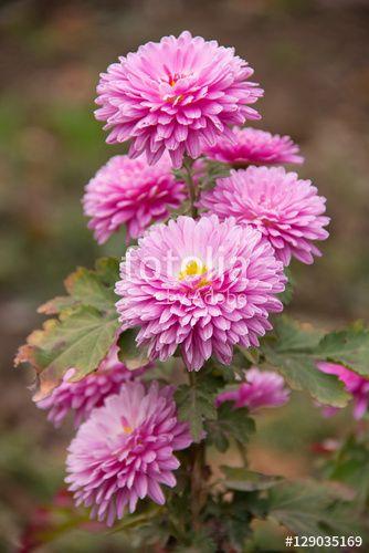 Autumn Flowers Pink Chrysanthemum