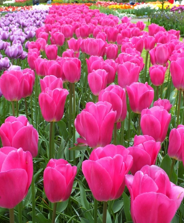Tulip Barcelona One Of Spring S Most Coveted Colors For The Garden This Luminous Hot Fuchsia Knock Out Is A Long Bulb Flowers Tulips Flowers Beautiful Flowers