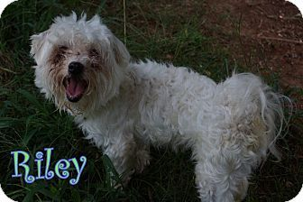 New Jersey Nj Poodle Miniature Bichon Frise Mix Meet Nj