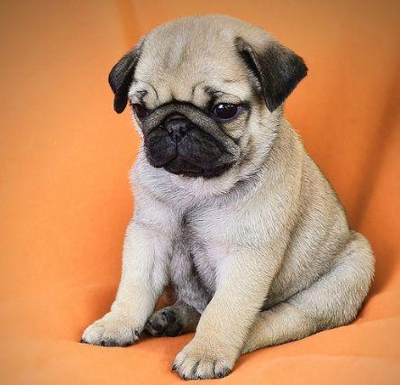 Cute Pug Puppy Pugs