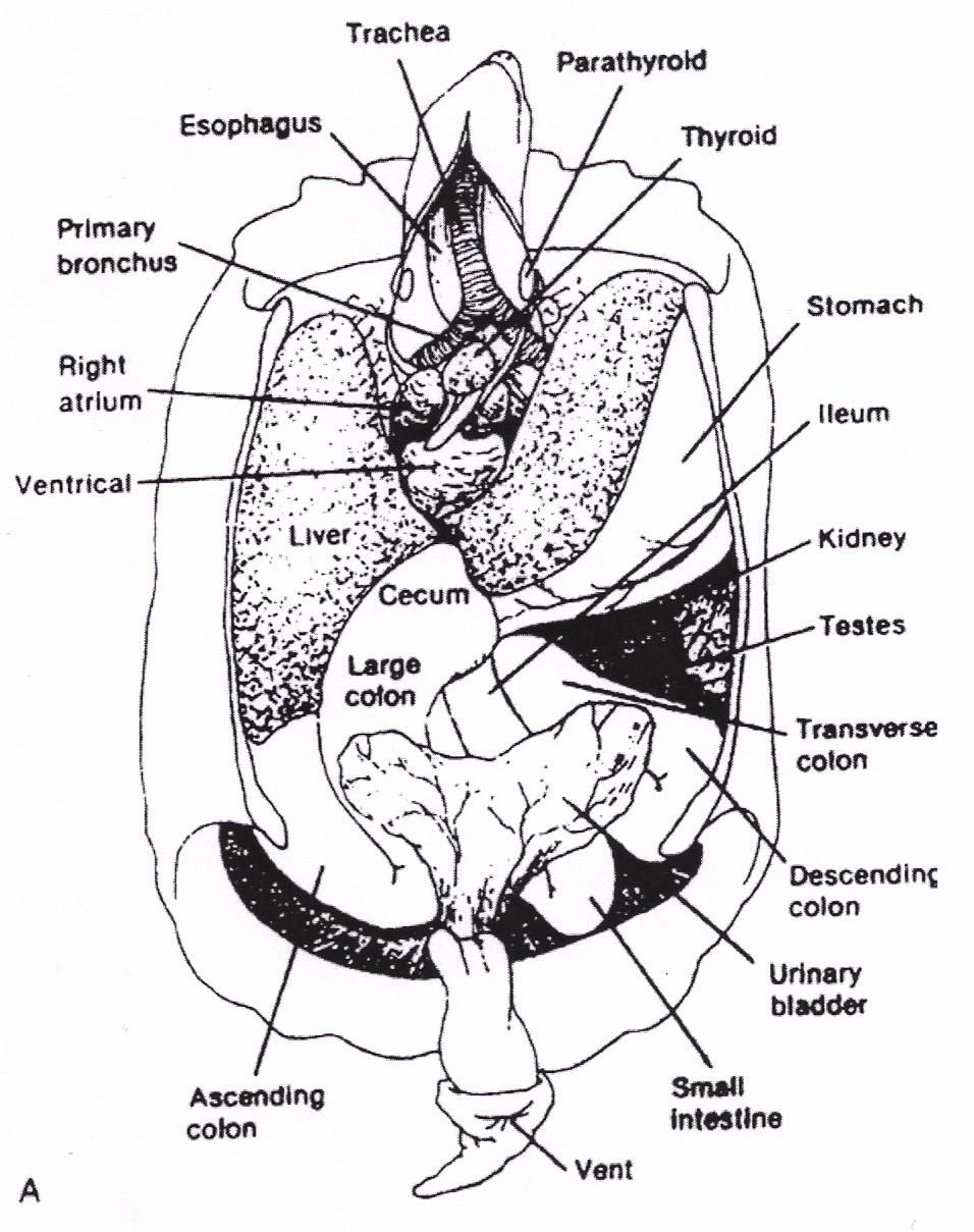 Sea Turtle Internal Anatomy Diagram - Free Vehicle Wiring Diagrams •