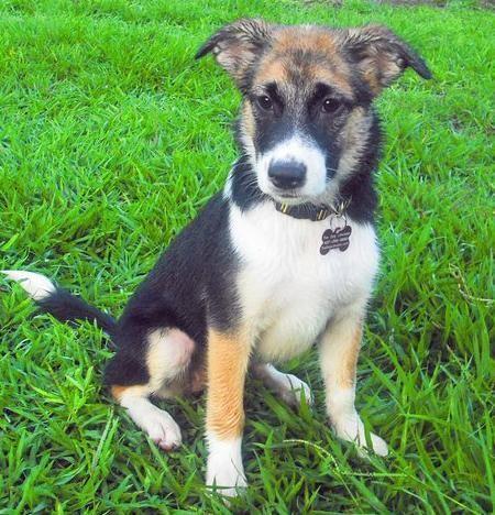 Shine The German Shepherd Mix Gorgeous Rescue Baby German Shepherd Mix German Shepherd German Shepherd Husky