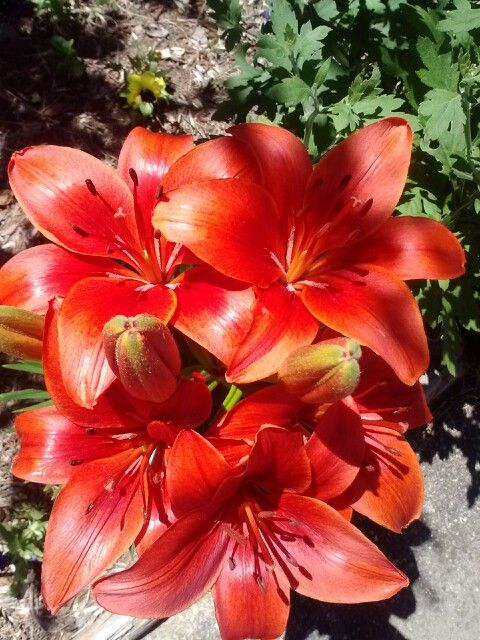Day Lilly - beautiful but they don't last long at all.  Rabbits love the bottom leaves.