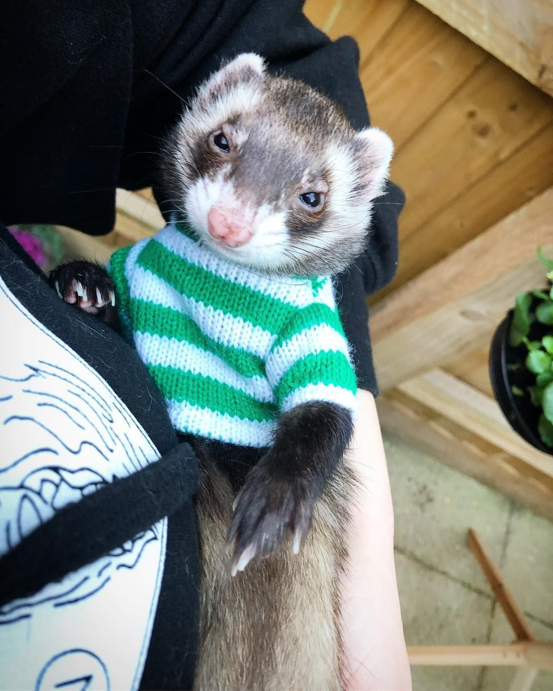 Pin On Ferrets