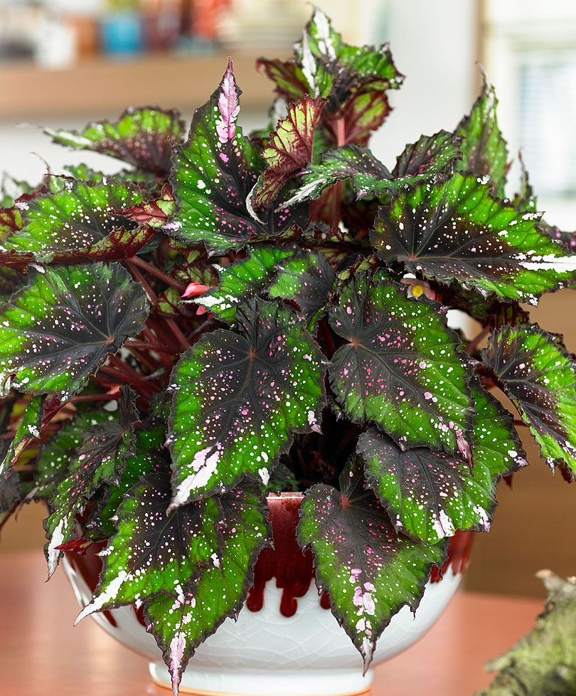 Begonia Rex African Jungle During The Winter Reduce The Amount