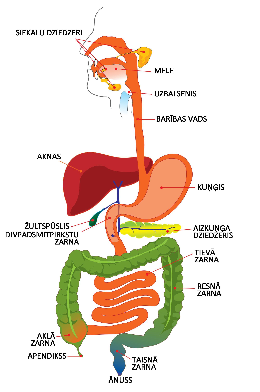 Human Digestive System (in Latvian Language)   Latvian Mission Trip ...