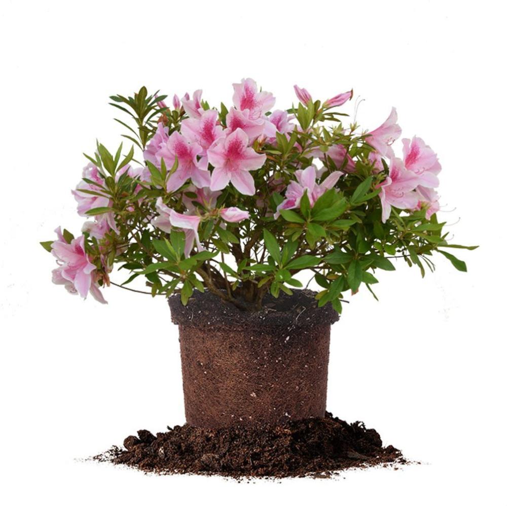 Taber Azalea for Sale Buy Azalea Plants (With